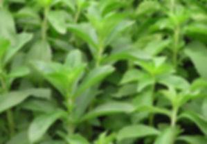 stevia rebaudiana.jpg