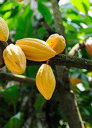 Theobroma cacao.jpg