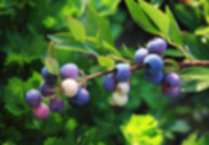 vaccinium myrtillus.jpg
