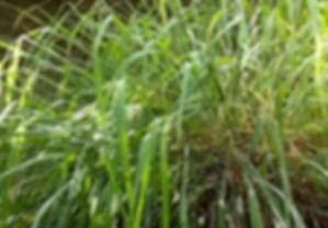 cymbopogon nardus.jpg