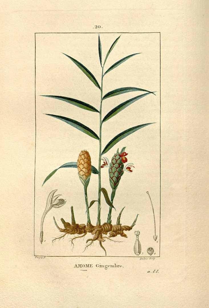 Zencefil | Chaumeton, Flore médicale (1833)