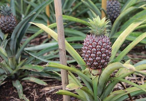 ananas comosus.jpg