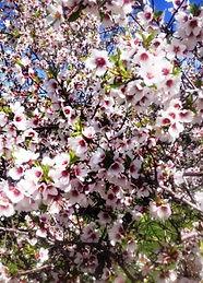 Tatlı Badem Ağacı.jpg