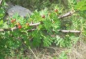 Bursera_delpechiana___Linoloe_Ağacı.jpg