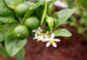 citrus aurantifolia.jpg
