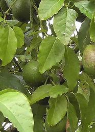 Avokado Ağacı.jpg