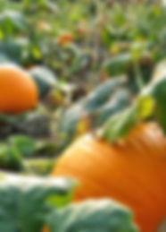 Cucurbita maxima.jpg
