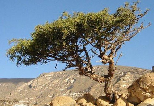 commiphora myrrha.jpg