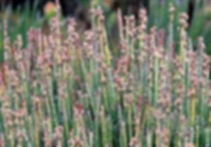 Euphorbia antisyphilitica.jpg