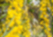 Mimoza_Acacia_dealbata.jpg