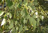 Cinnamomum comphora_kafur.jpg