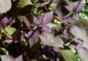 perilla frutescens.jpg