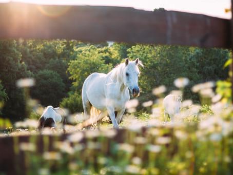 Atlar & Aromaterapi: Davranış Bozukluğu Konusunda Çalışmalar