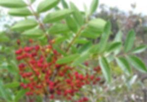 pistacia terebinthus.jpg