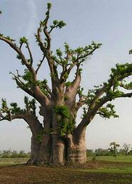 Adansonia_digitata_baobab.jpg