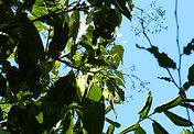 Aniba parviflora_Gül_Ağacı.jpg