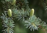 Sedir Ağacı.jpg