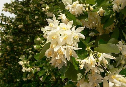 styrax officinalis.jpg
