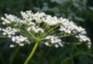 pimpinella anisum.jpg