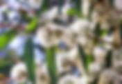 Okaliptus.jpg