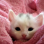 animal-blanket-cat-62321.jpg