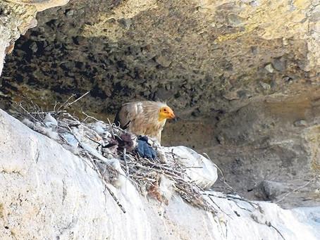 Kars'ta Küçük Akbabaların Yuvası Bulundu