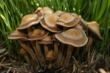 Panaeolus cinctulus .jpeg