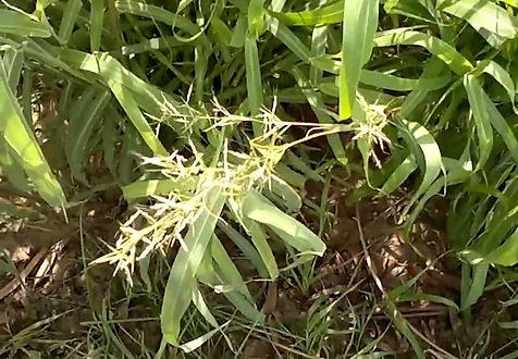 cymbopogon martini.jpg
