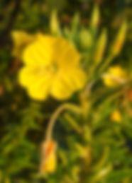 Çuha_Çiçeği_Oenothera_Biennis.jpg