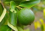 misket limonu Citrus aurantifolia.jpg