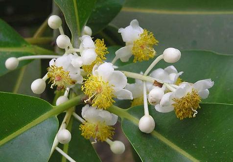 calophyllum inophyllum.jpg