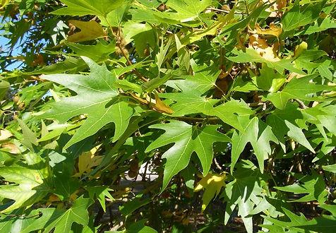 platanus orientalis.jpg