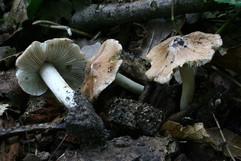 Inocybe maculata.JPG