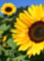 ayçiçeği.jpg
