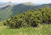 Pinus_pumilionis_bodur_Çam.jpg