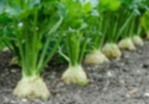 apium graveolens.jpg