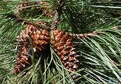 Pinus_pinaster_kızıl_çam.jpg