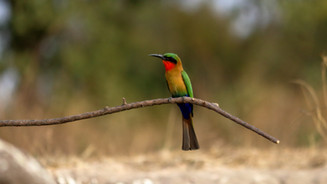 Red throated bee-eater
