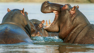 Hippos on our river survey