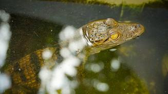 Juvenile West-African crocodile
