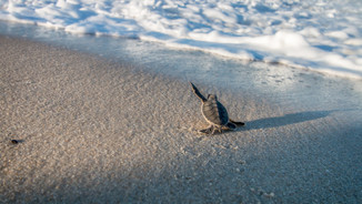 Green turtle hatchling off to sea