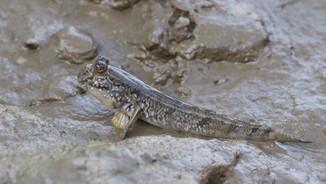 A mudskipper!