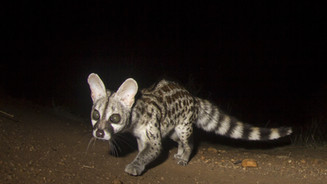 Young common genet - spotted on our night walks