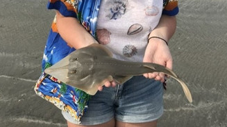 A juvenile black-chinned guitarfish being returned to the sea after being measured and weighed