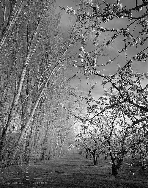 Trees in perspective with cherry blossoms on the right and white birch trees on the left forming a corridor or tunnel in B&W.