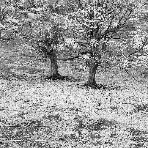 Twin dark trees on a bed of light fallen leaves in black and white.