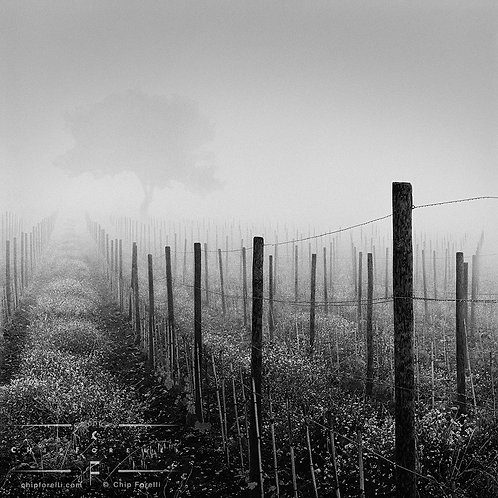 Fences in perspective in a vineyard receding into the distance with fog cloaking a barely visible tree on the horizon.