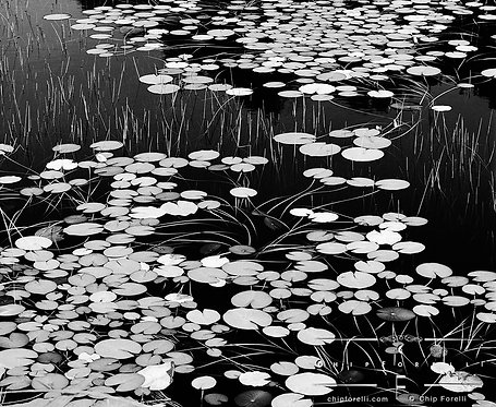 Liliy pads covering the surface of a pond with reeds and reflections in black and white.