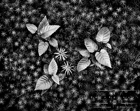 Three clusters of shiny, little plantlets growing in a bed of thick moss in black and white.