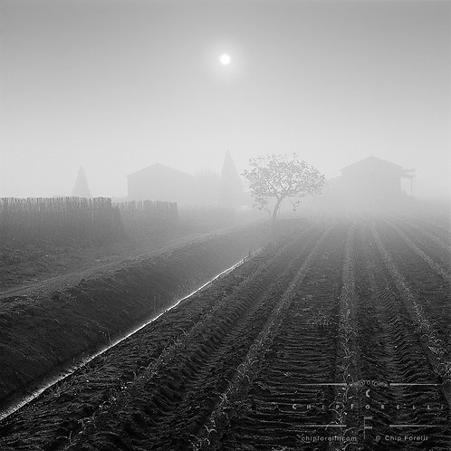 A hazy sun rising over a cultivated crop of dewdropped seedlings in perspective with barn structures in the foggy background.